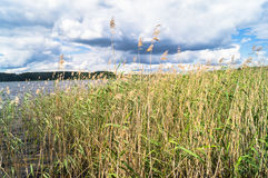 Riparian reed on the lake Seliger, Tver region. Common reed is a widespread grass-like perennial plant up to 5 m high, growing in moist and waterlogged areas stock images
