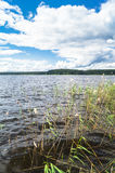Riparian reed on the lake Seliger, Tver region. Common reed is a widespread grass-like perennial plant up to 5 m high, growing in moist and waterlogged areas stock photography