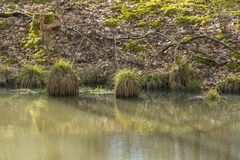 Riparian scenery. Including some grass plants at early spring time Royalty Free Stock Images