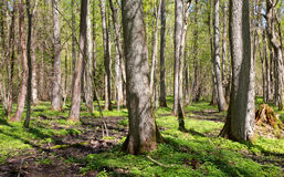 Riparian stand of Bialowieza Forest in sun Stock Images