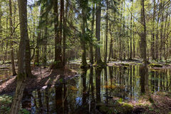 Riparian stand of Bialowieza Forest in sun Royalty Free Stock Images