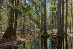 Riparian stand of Bialowieza Forest in sun Royalty Free Stock Photography