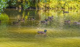 Wild ducks swimming in a pond. Riparian sunny park scenery including some mallards swimming in a lake at summer time Royalty Free Stock Photo