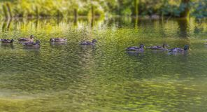 Wild ducks swimming in a pond. Riparian sunny park scenery including some mallards swimming in a lake at summer time Royalty Free Stock Images