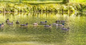 Wild ducks swimming in a pond. Riparian sunny park scenery including some mallards swimming in a lake at summer time royalty free stock image