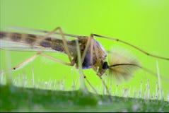 Riparius culicidae culex mosquito Royalty Free Stock Photos