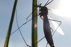 Riparius culicidae mosquito Royalty Free Stock Photos