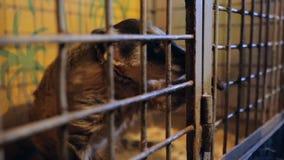Riparo animale, procione, coati stock footage