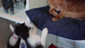 Riparo del gatto Gatto abissino e gatto grigio Animali domestici nel riparo video d archivio