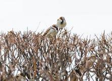 Riparo di piccola famiglia di uccelli defenceless del passero Immagini Stock