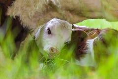 Riparo di ricerca del vitello neonato di Hereford tramite sua madre Immagini Stock Libere da Diritti