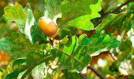 Ripe acorn brown Royalty Free Stock Photo