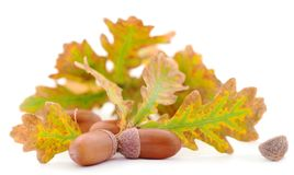 Ripe acorns isolated stock images