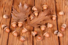 Ripe acorns with oak leaves Royalty Free Stock Photos