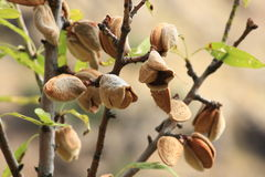Ripe almonds growing on tree Stock Photo