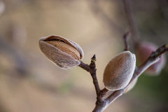 Ripe almonds on the tree branch. Royalty Free Stock Photography