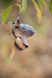 Ripe almonds on the tree branch. Royalty Free Stock Images