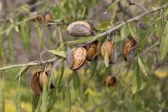 Almonds on the tree branch Royalty Free Stock Photography