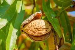 Ripe almonds on the tree branch, macro. Ripe almonds on the tree branch, autumn, closeup Stock Photography