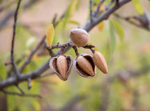 Ripe almonds on the tree branches. Ripe almond nuts on the branches of almond tree in early autumn. Ripe almonds on the tree branches. Horizontal. Daylight Royalty Free Stock Photography