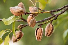 Ripe almonds on the tree branches. Ripe almond nuts on the branches of almond tree in early autumn. Ripe almonds on the tree branches. Horizontal. Daylight Stock Photos