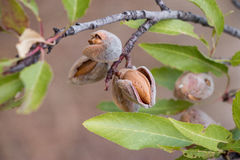 Ripe almonds on the tree branches. Royalty Free Stock Photos