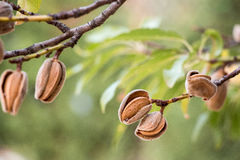 Ripe almonds on the tree branches. Ripe almond nuts on the branches of almond tree in early autumn. Ripe almonds on the tree branches. Horizontal. Daylight Royalty Free Stock Image