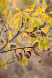 Ripe almonds on the tree branches. Stock Photography