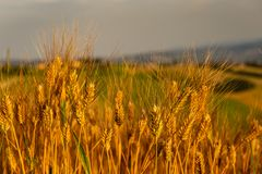 Ripe wheat in June. Ripe ancient wheat in June in italian country stock photography