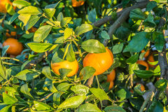 Ripe And Fresh Tangerines With Leaves On Tree Against Blue Sky
