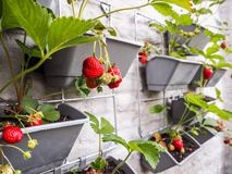 Ripe And Unripe Strawberries Hanging From Rows Of Strawberry Plants In A Vertical Garden On A Sunny Wall In A Small Patio Royalty Free Stock Image