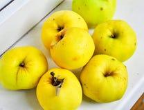 Ripe Antonov apples. Stock Photos