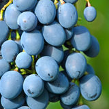 Ripe appetizing grape. Stock Photos