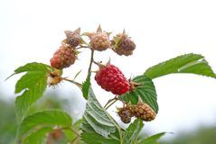Ripe appetizing raspberry Royalty Free Stock Photography