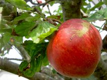 Ripe Apple. Red apple ready to pluck and eat Royalty Free Stock Image