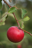 Ripe Apple. Ripe red single apple on branch with blurred orchard of green behind. Vertical format Stock Photos