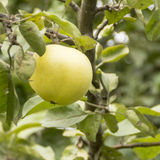 Ripe apple on the apple tree Royalty Free Stock Photos