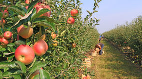 Ripe apple. S picking in orchard Stock Photos