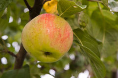 Ripe apple on a branch Royalty Free Stock Image
