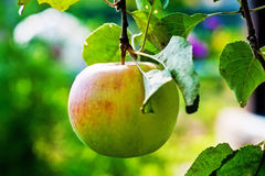 Ripe apple on a branch. Royalty Free Stock Photography