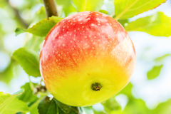 Ripe apple on a branch in the garden, macro Royalty Free Stock Photos
