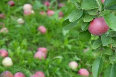 Ripe apple on a branch among green leaves Royalty Free Stock Image