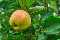 Ripe apple on the branch Stock Photo