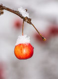 Ripe apple covered with snow Royalty Free Stock Photography