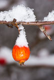Ripe apple covered with snow Royalty Free Stock Images