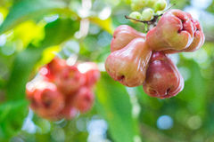 Ripe apple fruit Stock Photo
