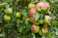 Ripe apple fruits on the tree. Ripe apple fruits branch on the tree in the organic garden in autumn royalty free stock photography