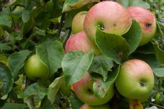 Ripe apple fruits on the tree in the garden. In the organic garden ready to harvest in autumn stock photography