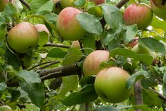 Ripe apple fruits on tree in the garden. Ripe apple fruits on tree in organic garden ready to harvest stock images