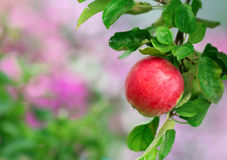 Ripe apple in the garden Royalty Free Stock Image